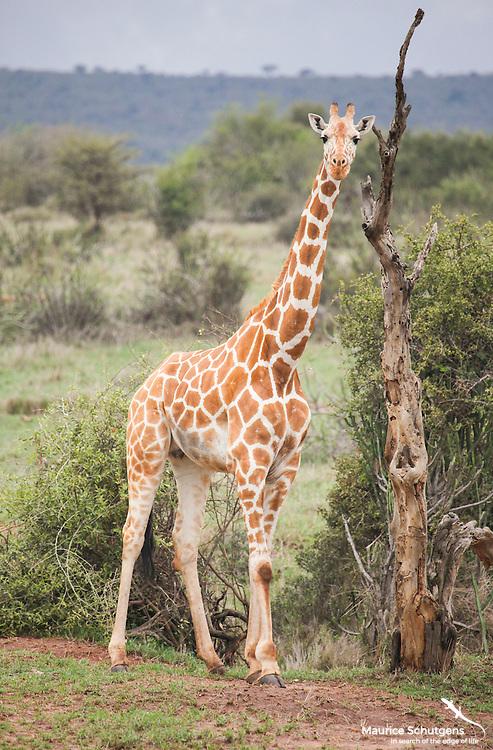 A reticulated giraffe stands frozen on Loisaba Conservancy, Kenya.