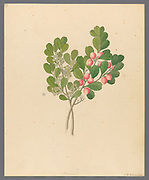 Rhamnus [Cassine aethiopica (=Mystroxylon aethiopicum)] from a collection of ' Drawings of plants collected at Cape Town ' by Clemenz Heinrich, Wehdemann, 1762-1835 Collected and drawn in the Cape Colony, South Africa