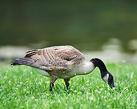 Canada Goose at the Sourland Mountain Preserve. Image taken with a Nikon D4 camera and 400 mm f/2.8 lens.