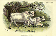Chillingham Cattle (Bos taurus) Chillingham cattle, also known as Chillingham wild cattle, are a breed of cattle that live in a large enclosed park at Chillingham Castle, Northumberland, England. From the book ' A hand-book to the British mammalia ' by  Richard Lydekker, 1849-1915  Published in London, by Edward Lloyd in 1896