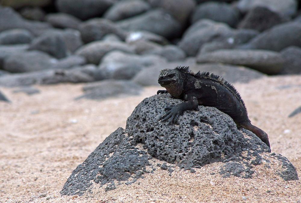 South America, Ecuador, Galapagos Islands. Black Iguana on lava rock.