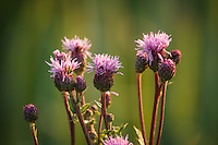Canada Thistle is an invasive week that spreads rapidly in open grassland and farm fields.  It is considered to be a serious pest and it must be managed carefully to prevent major infestations.  It is also very beautiful when it flowers, especially in the glowing morning light.<br /> <br /> ©2009, Sean Phillips<br /> http://www.Sean-Phillips.com