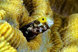spinyhead blenny, Acanthemblemaria spinosa, Sergent Major Reef, Cayman Brac, Cayman Islands, Caribbean Sea, Atlantic Ocean