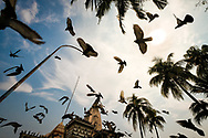 A group of pigeons are flying over the Jain temple of Kochi during the famous pigeons feeding where hundreds of birds gather to eat. Photo by Lorenz Berna