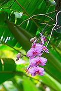 Orchid, Hawaii Tropical Botanical Garden, Hilo, Hamakua Coast, Big Island of Hawaii
