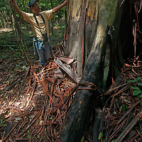 Beder Chavez, an Indian naturalist, demonstrates forest ecology surrounding a massive tree trunk in Peru's Amazon Jungle.