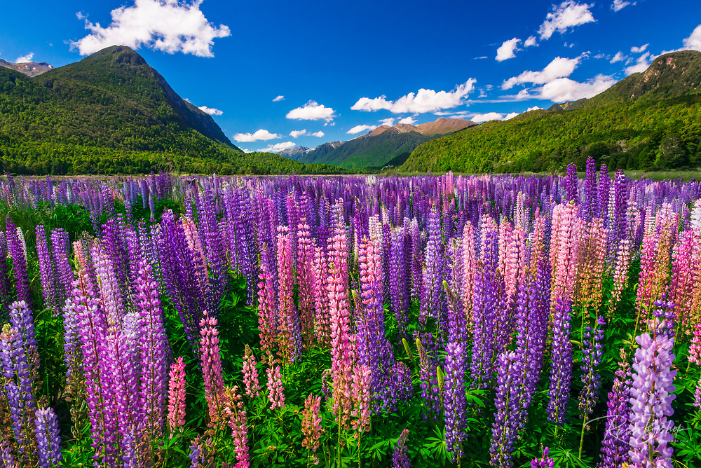 Spring lupine in Eglinton Valley, Fiordland National Park, South Island, New Zealand
