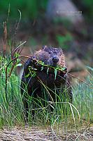 Beaver foraging along a river
