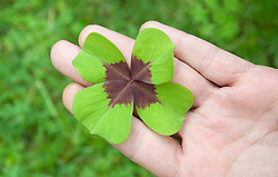 Four-leaf clover on hand palm, elevated view, close-up
