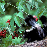 Striped Skunk, (Mephitis mephitis) Two young skunks lift tail, displaying provoked posture, ready to spray.