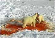 Polar bears (Ursus maritimus) snarling over seal kill; Arctic Ocean; Siberia