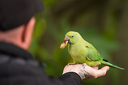 © Licensed to London News Pictures. 14/10/2020. LONDON, UK. A man feeds a feral ring-necked parakeet in St. James's Park.  This species is now widespread across the capital and as their south Asian native range extends into the foothills of the Himalayas, they are unperturbed by mild English winters but will accept any food handouts if they can.  Photo credit: Stephen Chung/LNP