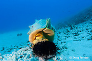 horned helmet shell or pu puhi, Cassis cornuta, pounces on collector urchin, Tripneustes gratilla, Keauhou Bay, Kona, Hawaii ( Big Island ) Hawaiian Islands  ( Central Pacific Ocean )