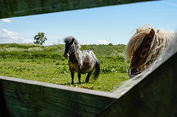Paard, Equus ferus caballus