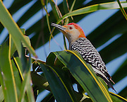 Image of a red-bellied woodpecker.