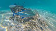 Papio, Snorkeling, French Polynesia, South Pacific