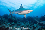 sandbar shark, Carcharhinus plumbeus, with parasitic copepods on snout and behind eye, Honokohau, North Kona, Hawaii (the Big Island),  United States ( Central North Pacific Ocean )
