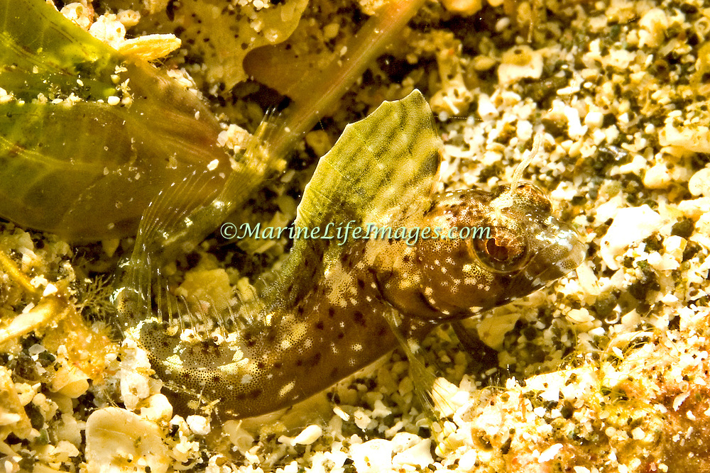 Sailfin Blenny inhabit shallow clear water areas of rock rubble and sand, perch in holes with head and verntral fins exposed Tropical West Atlantic; picture taken Bequia, Grenadines.