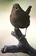 The winter wren is known for its full-throated, complex song. (Alan Berner / The Seattle Times)
