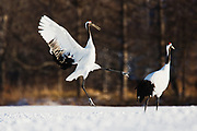 The complex and rhythmic bonding duet of a pair of Japanese red-crowned cranes (Grus japonensis),  Tsurui, Hokkaido, Japan