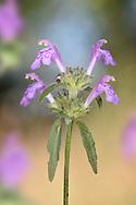 Red Hemp-nettle - Galeopsis angustifolia