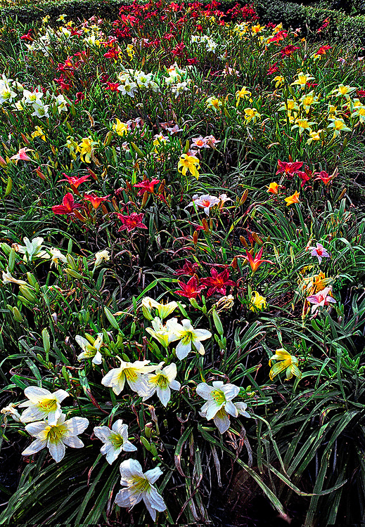 Day lilies in bloom at Montebello