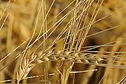 Wheat closeup <br /> <br /> Saskatchewan<br /> Canada