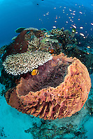 Reef Scenic with Hard Corals and Barrel Sponge<br /> <br /> shot in Indonesia