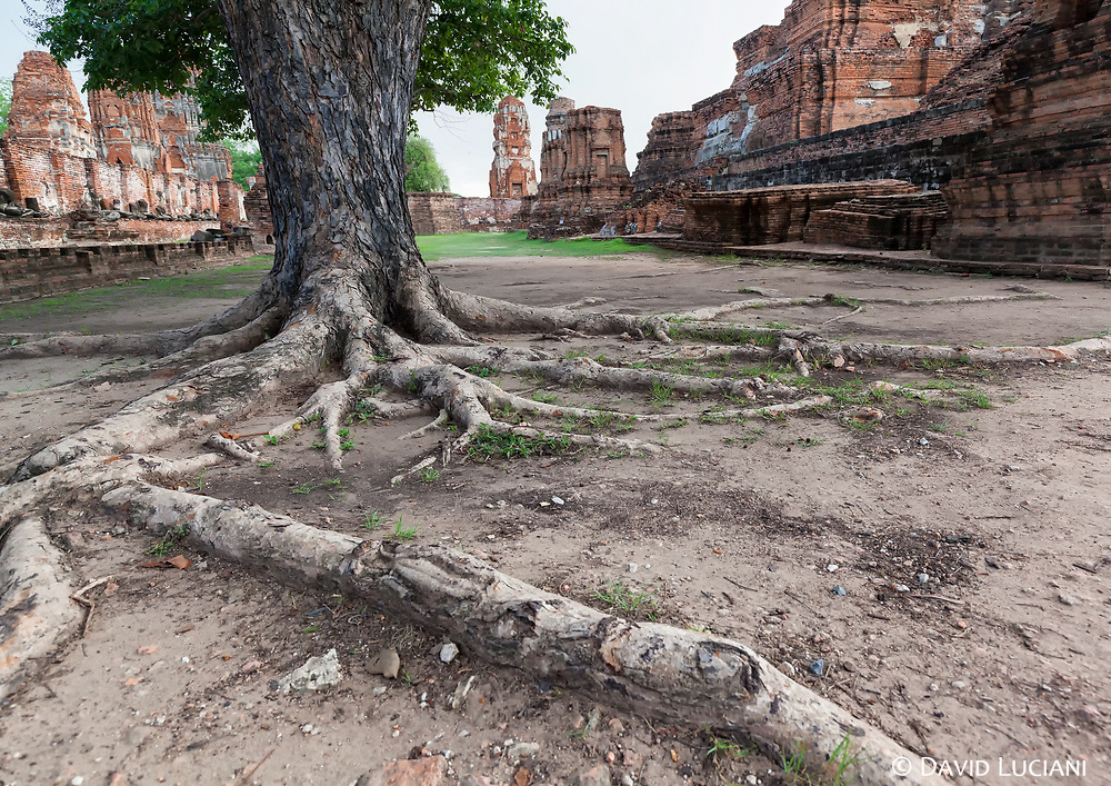 Tree roots spreading around a large area at Wat Mahathat in Ayutthaya.