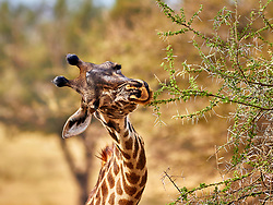 Portrait of a giraffe picking leaves from a tough acacia thorn bush.<br />