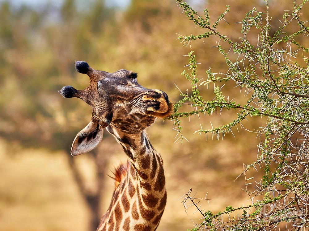 Portrait of a giraffe picking leaves from a tough acacia thorn bush.<br /> Tarangire National Park, Tanzania, Africa