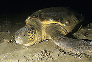 Loggerhead Turtle Caretta caretta Length 1-1.5m Large, marine turtle. Widespread in warmer seas but threatened and endangered, especially when breeding. Small population exists in Mediterranean, nesting mainly on a few Greek islands and on coast of Turkey. Feeds on a variety of marine invertebrates.