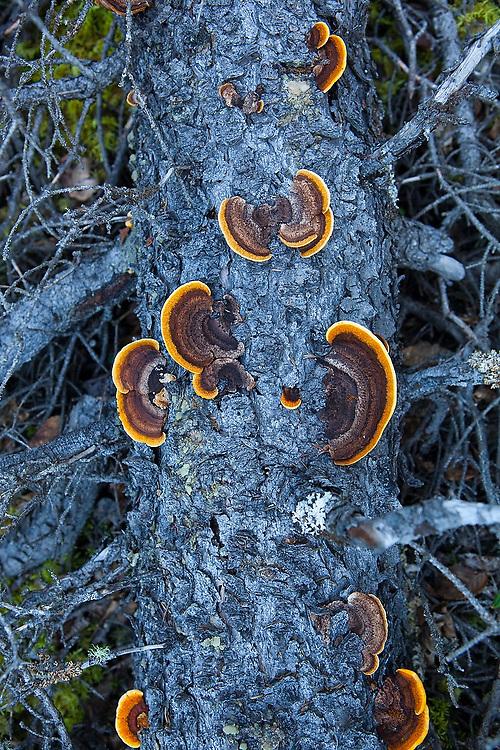 Colorful orange tree fungus grow on a fallen pine tree log in the Crystalline Hills, Wrangell-St. Elias National Park, Alaska.