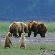 Alaskan Brown Bear mother with her two cubs, fighting a male bear. Alaskan Peninsula, Alaska