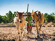 02 JUNE 2016 - SIEM REAP, CAMBODIA:  Farmers use oxen to till their land and prepare their fields for planting rice near Seam Reap. Cambodia is in the second year of  a record shattering drought, brought on by climate change and the El Niño weather pattern. Farmers in the area say this is driest they have ever seen their fields. They said they are planting because they have no choice but if they rainy season doesn't come, or if it's like last year's very short rainy season they will lose their crops.     PHOTO BY JACK KURTZ
