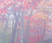 Autumn Oak and Maple Trees in Fog, Blue Ridge Parkway, NC