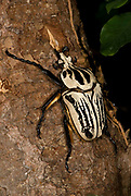 Goliath Beetle, Goliathus orientalis, found in The Congos and Tanzania<br /> Cetoniinae<br /> Coleoptera<br /> Goliathini<br /> Scarabaeidae<br /> animal<br /> beetle<br /> insect<br /> largest<br /> living<br /> nature<br /> wildlife<br /> Cetoniinae<br /> Coleoptera<br /> Goliathini<br /> Scarabaeidae<br /> animal<br /> beetle<br /> insect<br /> largeest<br /> living<br /> nat