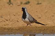 Namaqua Dove (Oena capensis) near water in the desert, negev desert, israel