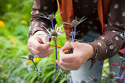 Marking eryngium flowerheads with coloured ribbon in preparation for collecting seeds