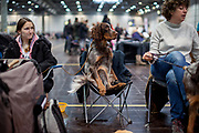 """Dog named """"Baisel Vom Wietisch"""" owned by Lisa Schumacher from Germany is relaxing on a chair during the ring competition at the Leipzig Trade Fair. Over 31,000 dogs from 73 nations will come together from 8-12 November 2017 in Leipzig for the biggest dog show in the world."""
