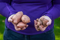 Showing the difference between good and bad potatoes
