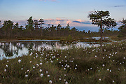 Early morning in raised bog rich with bog pools and lots of hare's-tail cottongrass (Eriophorum vaginatum) showing off with the white seed-pods, Kemeri National Park (Ķemeru Nacionālais parks), Latvia Ⓒ Davis Ulands   davisulands.com