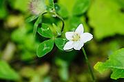 White Parnassus (Parnassia palustris) (AKA marsh grass of Parnassus, northern grass-of-Parnassus, or just grass-of-Parnassus and bog-star) flowering in summer. Photographed in Tirol, Austria