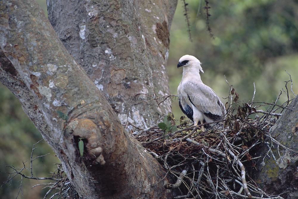 Crested Eagle Chick on Nest<br />Morphnus guianensis<br />Puerto Maldonado, Amazon Rain Forest.  PERU<br />South America<br />Range: Guatemala to Argentina and Brazil