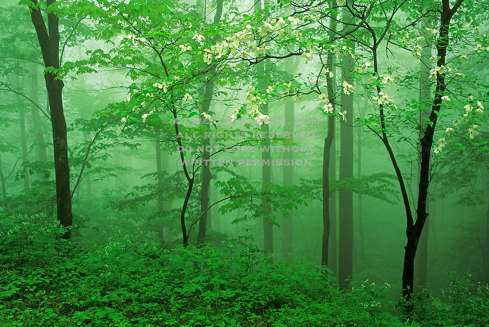 Image of trees in a foggy forest at Great Smoky Mountains National Park, Tennessee, America east coast by Randy Wells