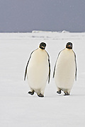 Two Emperor Penguins on the sea ice match walking strides as a sign of courtship with ice bergs in the background.
