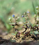 BRECKLAND SPEEDWELL Veronica praecox (Height to 10cm) is a tiny annual. It is rather similar to Wall Speedwell but has rounded, toothed leaves and tiny, blue flowers borne on slender axillary stalks (Mar-Jun). It is a rare plant of unsprayed field margins in the Brecks.