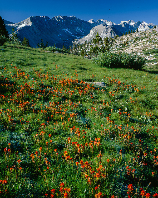 Indian paintbrush, alpine meadow, summer, John Muir Wilderness, California, USA