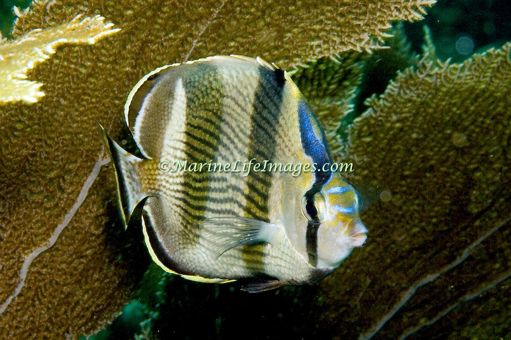 Banded Butterflyfish flit about reef tops, often in pairs in Tropical West Atlantic; picture taken St. Vincent.