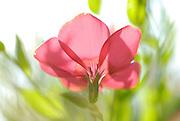 Red garden flower from the poppy family